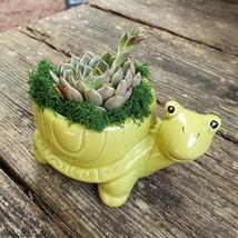 "Echeveria in Turtle Planter, Live Succulent, 5"" Green Ceramic Tortoise Pot image 2"