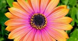 100 African Daisy Mix Flower Seeds  - $6.65