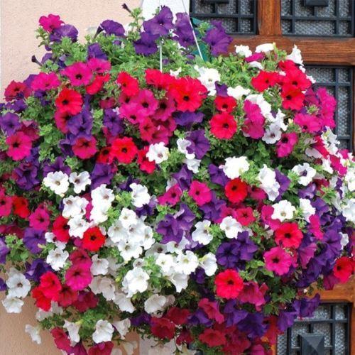 Trailing Petunia Mixed Colors Hybrida Pendula 25 Annual Seeds