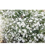 100 Creeping Babys Breath Ground Cover Seeds Gypsophila Repens White - $9.89