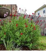 Autumn Sage (Red) Aka Salvia Greggii 'Flame' Live Plant Fit 1 Gallon Pot - $9.26