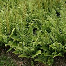 Christmas Fern 10 rhizome/root (Polystichum acrostichoides) - $36.99
