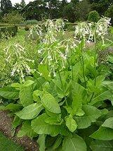 5 Bare Root of Nicotiana Sylvestris - Ornamental Tobacco - $121.28