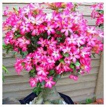 4Pcs Rare Pink Adenium Obesum Seeds Genuine Desert Rose Flower Plant Seed - $9.79