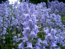 Virginia Blue Bell 5 roots native wild flower, shade lover image 5
