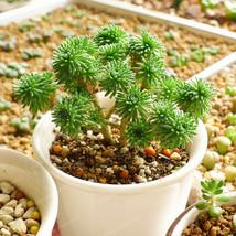 Sedum Multiceps Seed Succulent Plants Purify The Air 100 Pcs / Bag - $4.76