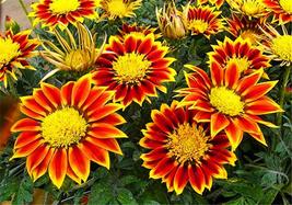 100 of Gazania flower seeds, Semillas Gazania Splendens Chrysanthemum G 06 - £0.67 GBP
