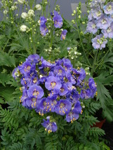 150 Seeds Flower Seed: Heavenly Habit Polemonium Fresh Seed - Outdoor Living  - $29.00