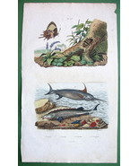 BUTTERFLY Swordfish Sturgeon Erotypus Beetle !! SUPERB H/C Color Print G... - $12.24