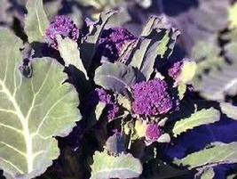 2000 seeds Purple Sprouting Broccoli Non-GMO Heirloom seed New seed - $14.00