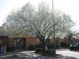 30 Bradford Pear, Pyrus calleryana, (Callery Pear) Tree Seeds (Fast, Fal... - $10.99