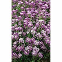 Non GMO Alyssum, Royal Carpet Flower Seeds Lobularia maritima (5 Lbs) - $570.14