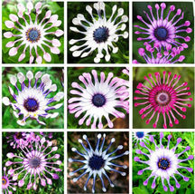 50 Multicolor Daisy Seeds - Exotic ornamental flowers - $12.95