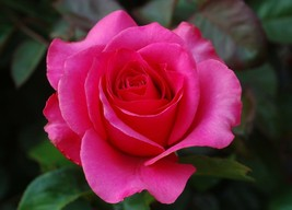 Rose Flower Picture/Image/Digital Nature Flower #44 - $0.98