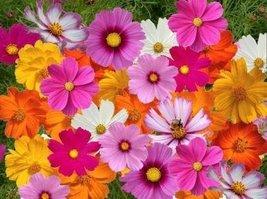 Non GMO Bulk Cosmos Mix Flower Seed (25 LB) - $1,168.15