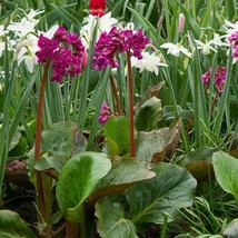 SHIP FROM USA Heartleaf Bergenia Flower Seeds (Bergenia Cordifolia) 15+Seeds UDS - $23.92