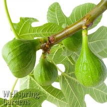 SHIP FROM US Lattarula Italian Honey Fig Ficus Carica Live Plant TGV1 - $43.96