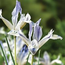 10 Bulbs ~ Dwarf Dutch Iris ~ Painted Lady - $13.99