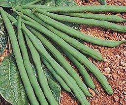 100 Seeds - Jade II/Phaseolus Vulgaris - $19.79