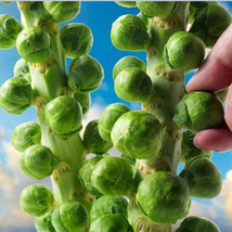 Europe Sub hot organic brussels sprouts seeds of vegetable 100seed - $4.99