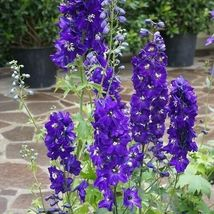 Excellent Flower Seeds 4 Variety Delphinium King Arthur #IMA47 - $14.99+