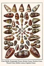 Cone Shells, Geography Cones, Striate Cones, Terebra Cone, Weasel Cone, Soldier  - $19.99+