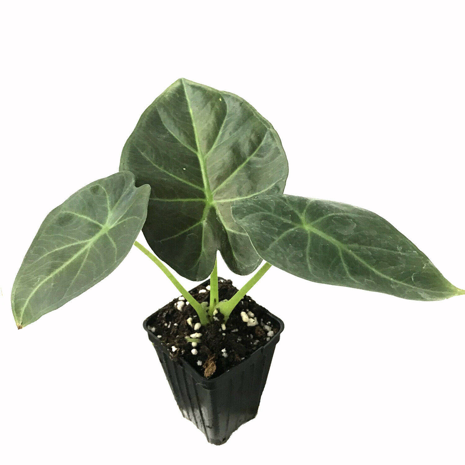 Primary image for SHIP FROM US Regal Shields Elephant Ear Alocasia Live Tropical Plant  WSP2
