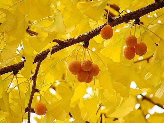 Organic 5 Ginkgo biloba gingko Maidenhair Tree seeds nuts Bonsai Tree grown from image 4