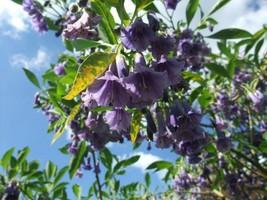 """Acnistus australis, Blue 10 semi """"mini brugmansia"""" RARE - $4.51"""