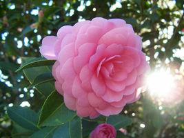 Outdoor Living – Garden - Camellia Japonica Pink Perfection Quart Plant - tgi - $109.95