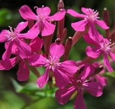 10,000 Seeds Catchfly Seeds Silene Armeria Seeds Wildflower Seeds Garden... - $27.72