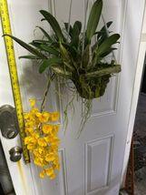 "Whopper Dendrobium aggregatum Bloom size 6"" wood slat basket LARGE SPECIES image 3"