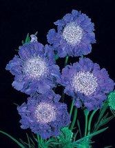 25 Seeds of Scabiosa Caucasica Fama Deep Blue Perennial - $26.73