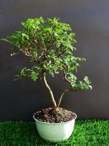 Perfect Bonsai - Osteomeles anthyllidifolia 小石積 Chinese pepper tree  - $127.71