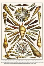 Arabian Tibia, Shin-bone tibia, Auger Shells, Marlinspike, Duplicate turritella, - $19.99+