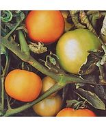 SHIP From US, 25 Seeds Mountain Gold Tomato Seeds, DIY Healthy Vegetable AM - $24.99