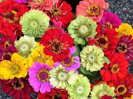From Us 250 Mixed Colors Zinnia Elegans Flower Seeds Sbr - $11.99