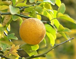 SHIP FROM US 5 HARDY ORANGE TREE Trifoliate Citrus  Fruit Flower Seeds SBR4 - $12.00
