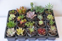 "Assorted 2"" Pot Succulents Exotic Succulent Plants (15, 20, 25) image 3"