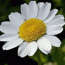 2000 Creeping Daisy Wildflower Flower Seeds - $7.99