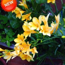 100Pcs Rare Yellow Freesia Bonsai Potted Flowering Plants Orchid Garden Seeds - $8.40