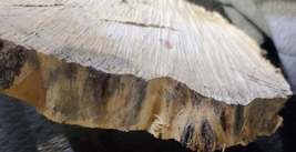 Box Elder/Ash Leaf Maple Wood slab image 4