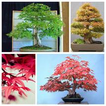 Maple Tree 20 Seeds Easy Grown Perfect Ornamental Bonsai Tree Seed S077 - $13.58