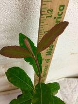 Blackhaw Viburnum (Viburnum prunifolium) image 6