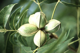 Pecan, Carya illinoinensis, 4 Tree Seeds (Edible, Hardy) - $10.99