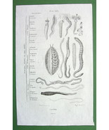 ANNELIDS Ring Worms - Original Antique Print Engraving - $3.82