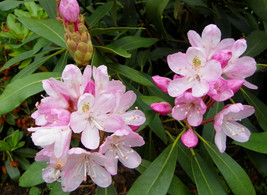 SHIPPED FROM US 100 Rosebay Rhododendron Maximum Bush Shrub Flower Seeds... - $15.00