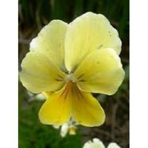 Yellow Sorbet Viola / Shade Perennial Flower 30 Seeds #SBS09 - $14.17