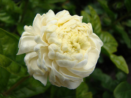 Live Starter Plant - Arabian Jasmine - Grand Duke Of Tuscany, Jasmine Trees - $19.50