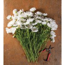 Fizzy White Cosmos Seed / Rubenza Cosmos Flower Seeds - $17.00